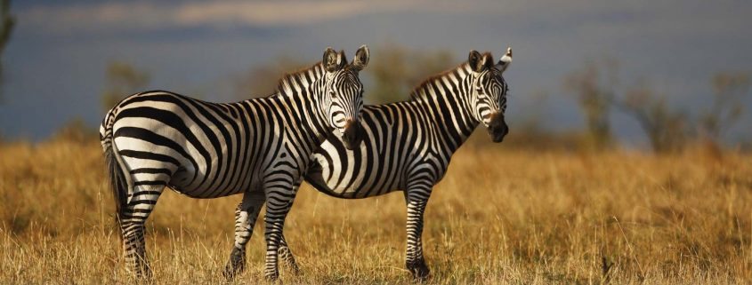 Samovar Kenya, l'anima di un continente